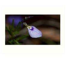 Spade Flower (Hybanthus Vernonii) Art Print