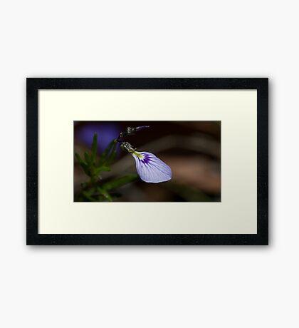 Spade Flower (Hybanthus Vernonii) Framed Print