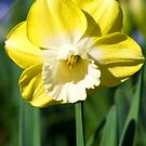 Daffodil by Greg Halliday