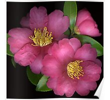 Rose Camellias Poster
