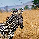 Zebra Flair by Scott Ward