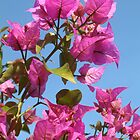 Bougainvillea by Fay  Hughes