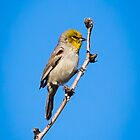 Verdin in the Sabino Canyon by Robert Kelch, M.D.