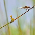 Male Chaser . by relayer51
