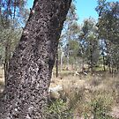Brolgars west of Emerald Qld by 4spotmore