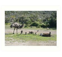 Emus at Coffin Bay National Park,S.A. Art Print