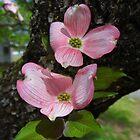Pink Dogwood Blossoms by WildestArt