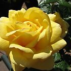 Gorgeous Golden Rose by kathrynsgallery