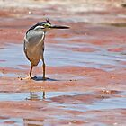 "Striated Heron ~ ""That Way"" by Robert Elliott"