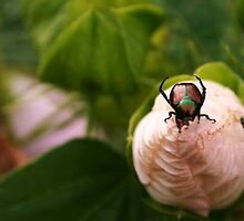 Japanese Beetle by Diana Forgione