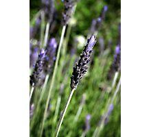 Lavender stalks Photographic Print