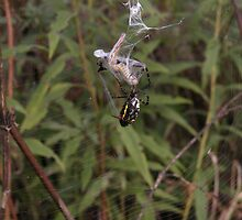 Argiope Trifasciata White Backed Garden Spider  and Grasshopper 2 by mnkreations