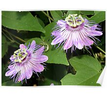lavender Passion Blooms Poster