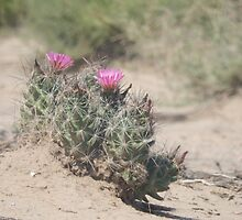Big Bend Blooming Cacti by HarmlessPet
