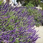 lavender  plant San Capastiono California by megga