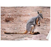 'Yellow Footed Rock Wallaby' Poster