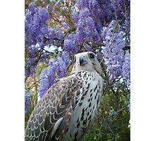 falco4 Photographic Print