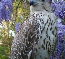 falco6 by FalcoPeregrinus