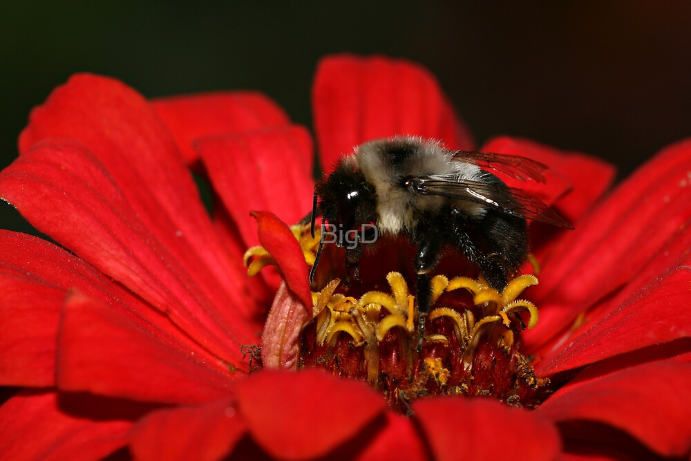 Bumble Bee by BigD