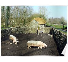 Two pigs in rural Ireland Poster