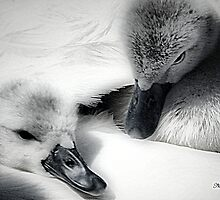 Wrapped In Swans Down by naturelover