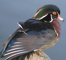 Wood Duck by jsmusic