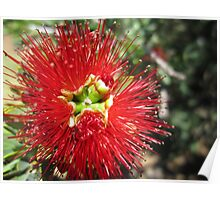 Bottle brush flower Poster