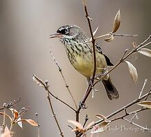 White Browed Scrub Wren by Rick Playle
