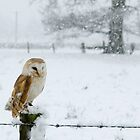 Snowy Barn Owl by Mike Ashton