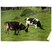 Cows on a Farm Poster