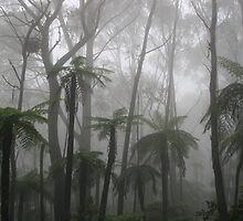Tree Ferns, Mt Wilson, Australia by opensea