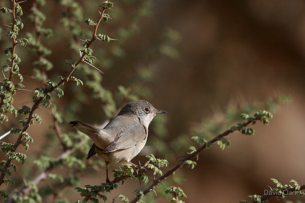 Menetries's Warbler by David Clark