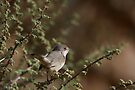 Menetries's Warbler by David Clark
