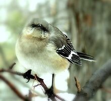 Northern Mockingbird by NatureRules
