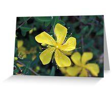 Hypericum Flower Cards Greeting Card