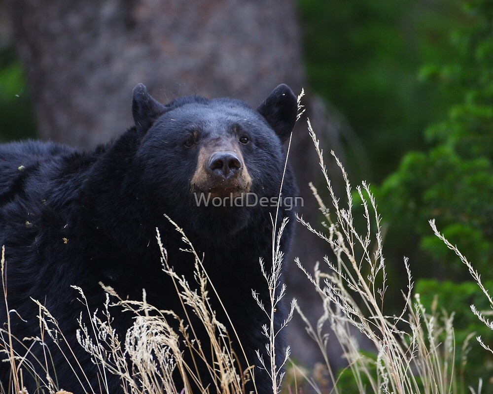 Black Bear Smile by William C. Gladish