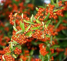 berries by makpics