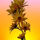 sunflower at sunset by SandyJohnson