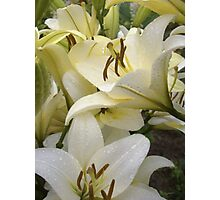 White Lily in the garden 7 Photographic Print