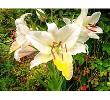 White Lily in the garden 9 Photographic Print
