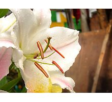 White Lily in the garden 11 Photographic Print