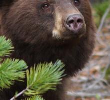 Black Bear with Cinnamon Color Sticker