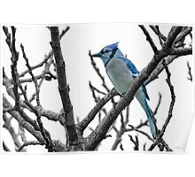 Blue Jay on a Gray Day Poster