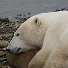 Polar Bear with a rock for a pillow by AnnetteK