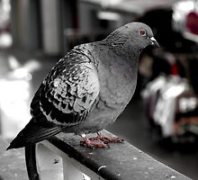 Red eyed market pigeon by MyriadLifePhoto