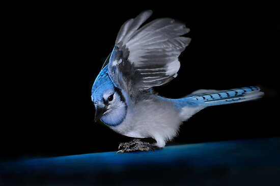 Blue Jay by Renee Dawson