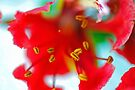 Explosion of Poinciana stamens by Renee Hubbard Fine Art Photography