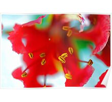 Explosion of Poinciana stamens Poster