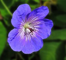 Geranium by Evelyn Laeschke