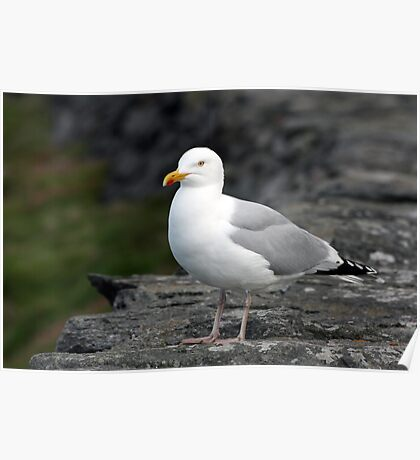 Seagull at Slea Head Poster